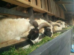 Domba Aqiqah Bandung