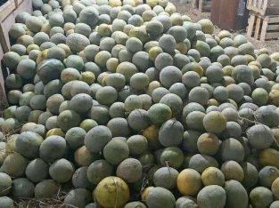 Buah melon murah langsung panen dari kebun