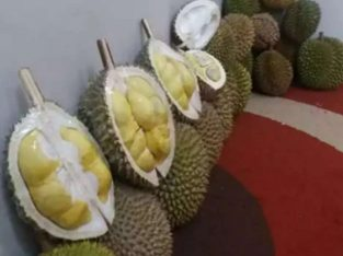 Durian premium matang pohon