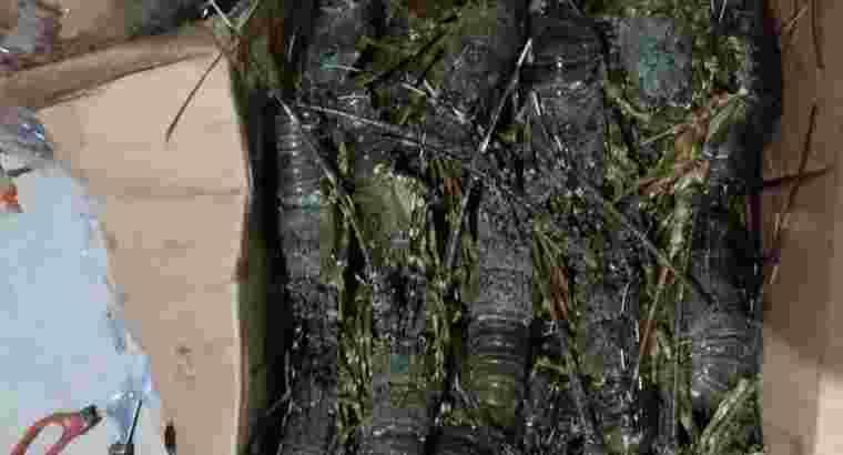 Jual Lobster Segar