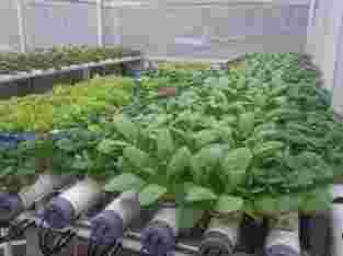 Menjual Sayuran Hidroponik Fressh