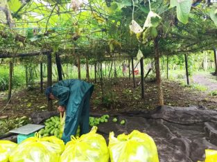 Supplier sayur labu jepang