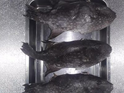 Ikan Ayam-Ayam/Etong (Frozen)