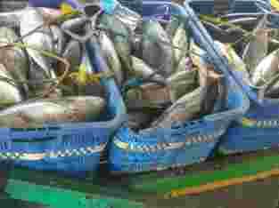 Supplier Ikan Asin / Ikan Fresh / Ikan Giling