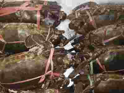 Kepiting super frozen harga per kg