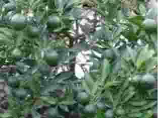 jual pohon bibit jeruk limo