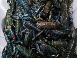 Supplier Baby Lobster Frozen /Kg