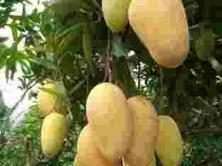 Distributor Mangga Chokanan