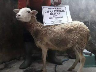 Kambing Domba Aqiqah Murah Medan