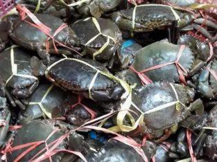 Agen distributor kepiting segar harga murah