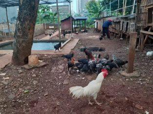 Jual ayam kampung potong segar