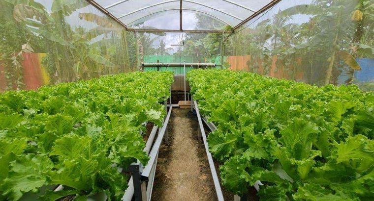 Petani Selada Hidroponik Banjarmasin