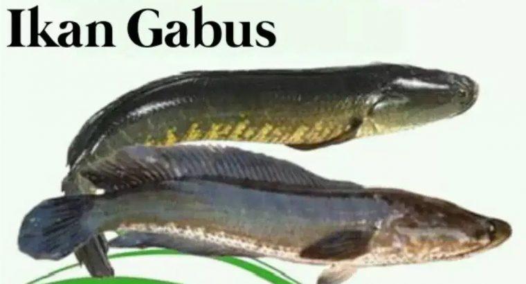 Jual ikan gabus konsumsi paska persalinan