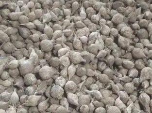 Supplier Agen Jual Bawang Lanang Lokal