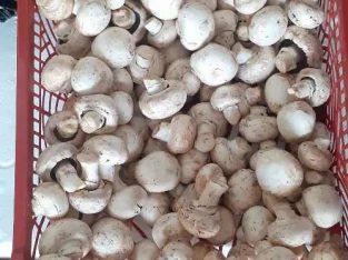 Jual Jamur Kancing Fresh Langsung Dari Petani