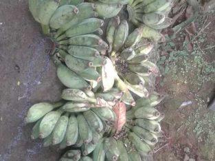 Jual pisang nangka, pisang koyut, pisang Ambon