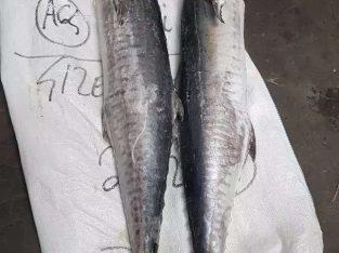 Jual Ikan tenggiri utuh kualitas eksport