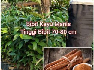 Jual Bibit Kayu Manis TInggi 70-80 cm
