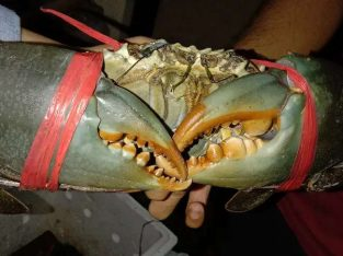 Jual Kepiting bakau asli kalimantan